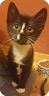 Domestic Shorthair Kitten for adoption in Bellingham, Washington - Hubert