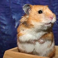 Adopt A Pet :: Princess Buttercup - Pine Bush, NY