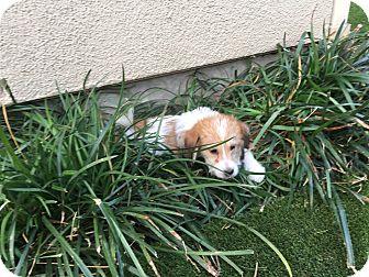 Basset Hound/Terrier (Unknown Type, Small) Mix Puppy for adoption in Fort Atkinson, Wisconsin - Sydney