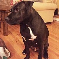 Adopt A Pet :: HAMLET - NYC, NY