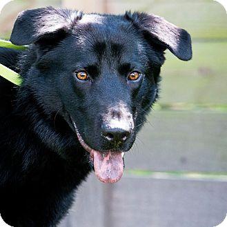 Shepherd (Unknown Type) Mix Dog for adoption in Houston, Texas - Rocko
