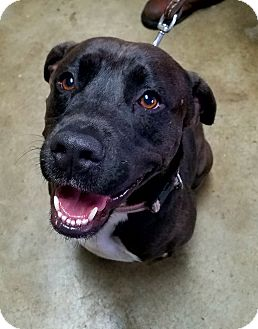 Labrador Retriever/American Pit Bull Terrier Mix Dog for adoption in Troutville, Virginia - Goselyn