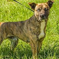 Shepherd (Unknown Type) Mix Dog for adoption in Aurora, Missouri - Wiley Coyote