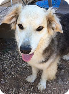 Siberian Husky Mix Dog for adoption in Post, Texas - Raider