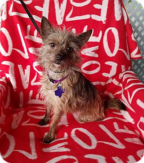 Cairn Terrier/Chihuahua Mix Dog for adoption in Toronto, Ontario - Nebula