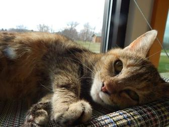 Domestic Shorthair/Domestic Shorthair Mix Cat for adoption in Monroe, Wisconsin - Tiger