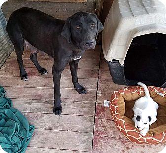 Mastiff/Labrador Retriever Mix Dog for adoption in Providence, Rhode Island - Baby Girl