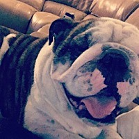 English Bulldog Dog for adoption in Cincinnati, Ohio - Zeke