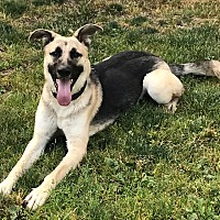Adopt A Pet :: Archie, awesome shep pup! - Snohomish, WA
