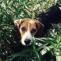 Adopt A Pet :: Dickens - Houston, TX