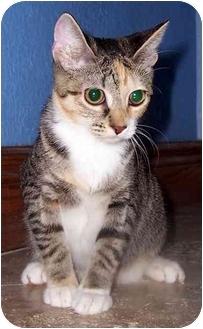 Calico Cat for adoption in Oklahoma City, Oklahoma - Sandy