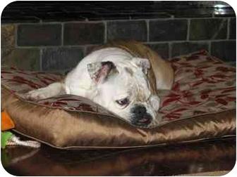 English Bulldog Dog for adoption in Winder, Georgia - Shelby