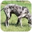 Photo 2 - Great Dane Dog for adoption in Woodstock, Illinois - Rebel