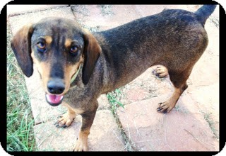 Dachshund Mix Dog for adoption in Meridian, Mississippi - Abby