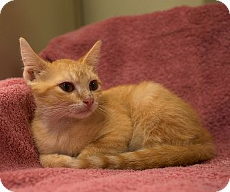 Domestic Shorthair Kitten for adoption in Houston, Texas - Red (A cutie Pie!)