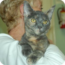 Domestic Shorthair Cat for adoption in Bradenton, Florida - Amy