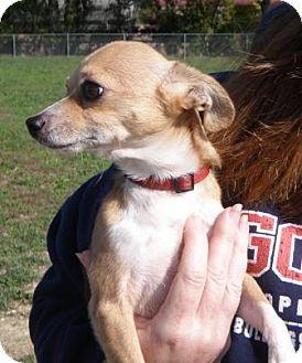 Chihuahua Dog for adoption in Huntingburg, Indiana - Biscut