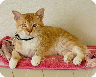 Domestic Shorthair Cat for adoption in Martinsville, Indiana - Jupiter
