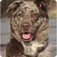 Adopt A Pet :: Gorgeous Sadie--red merle - Baltimore, MD