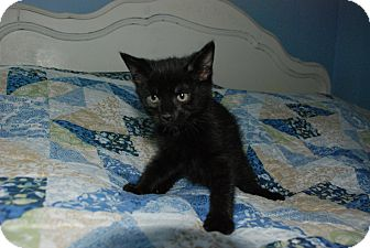 Domestic Shorthair Kitten for adoption in Wythe County, Virginia - Sgt Pepper