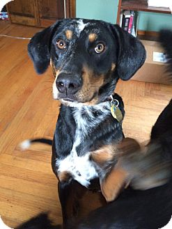 Australian Shepherd/Hound (Unknown Type) Mix Dog for adoption in Syracuse, New York - Ryder REDUCED price for both