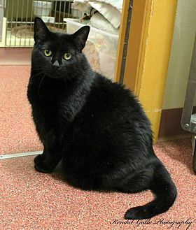 Domestic Shorthair Cat for adoption in Saranac Lake, New York - Blackie