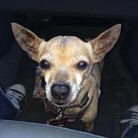Adopt A Pet :: CJ - North Hollywood, CA