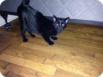 Domestic Shorthair Kitten for adoption in Kalamazoo, Michigan - Wolverine