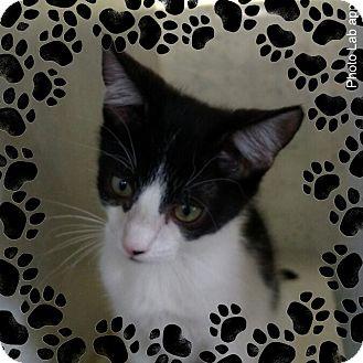 Domestic Shorthair Kitten for adoption in Pueblo West, Colorado - Kaholo