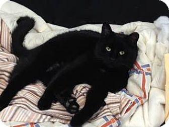 Domestic Mediumhair Cat for adoption in Hamilton, Ontario - Mrs. Peabody