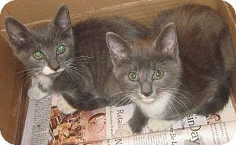 Russian Blue Kitten for adoption in New York, New York - Miro and Monet'12