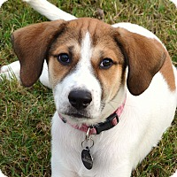 Adopt A Pet :: *Precious Prim - PENDING - Westport, CT