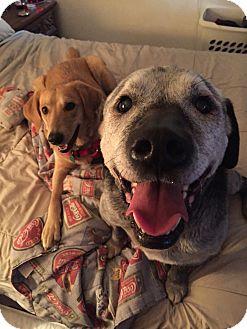 Labrador Retriever Mix Dog for adoption in Philadelphia, Pennsylvania - Jake