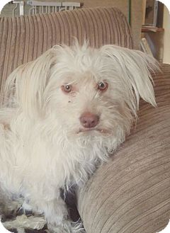 Maltese/Poodle (Miniature) Mix Dog for adoption in Van Nuys, California - Walter