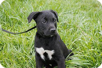 Labrador Retriever Mix Puppy for adoption in Seneca, South Carolina - Tipper $250