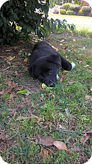 Shepherd (Unknown Type) Mix Puppy for adoption in Charlotte, North Carolina - Sweetie