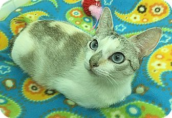 Siamese Cat for adoption in Tampa, Florida - Aquamarine