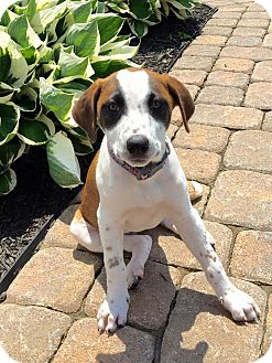 Beagle Mix Puppy for adoption in New Oxford, Pennsylvania - Nici