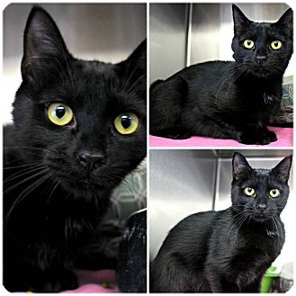 Domestic Shorthair Cat for adoption in Forked River, New Jersey - Intrinsic