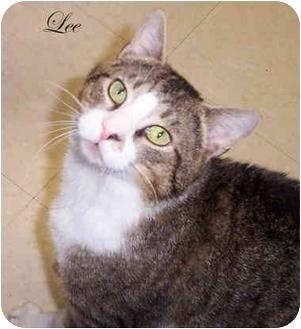 Domestic Shorthair Cat for adoption in Culpeper, Virginia - Lee