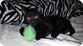 Domestic Shorthair Kitten for adoption in Gainesville, Virginia - Trista
