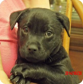 Labrador Retriever/Retriever (Unknown Type) Mix Puppy for adoption in West Sand Lake, New York - Tugboat (8 lb) Video!