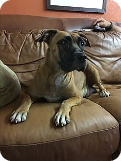 Boxer Mix Dog for adoption in Mount Hope, Ontario - Maggie