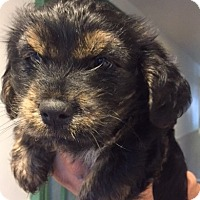 Adopt A Pet :: Goldie's Puppies! - Canoga Park, CA