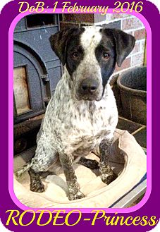 German Shorthaired Pointer/Australian Cattle Dog Mix Dog for adoption in White River Junction, Vermont - RODEO-Princess