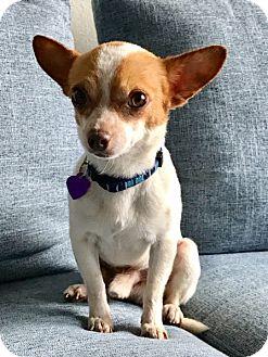 Chihuahua Mix Dog for adoption in Marina del Rey, California - Rikki