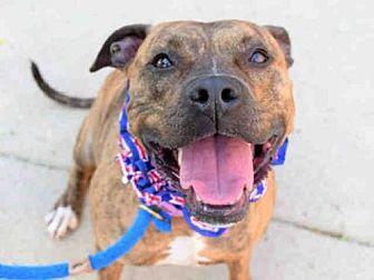 Pit Bull Terrier Dog for adoption in Aurora, Illinois - ZENA
