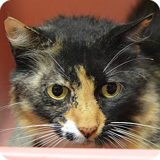 Domestic Shorthair Cat for adoption in Brooksville, Florida - 10311522