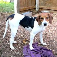 Adopt A Pet :: Holly - Fayetteville, TN