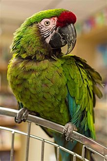 Macaw for adoption in Elizabeth, Colorado - Gizmo
